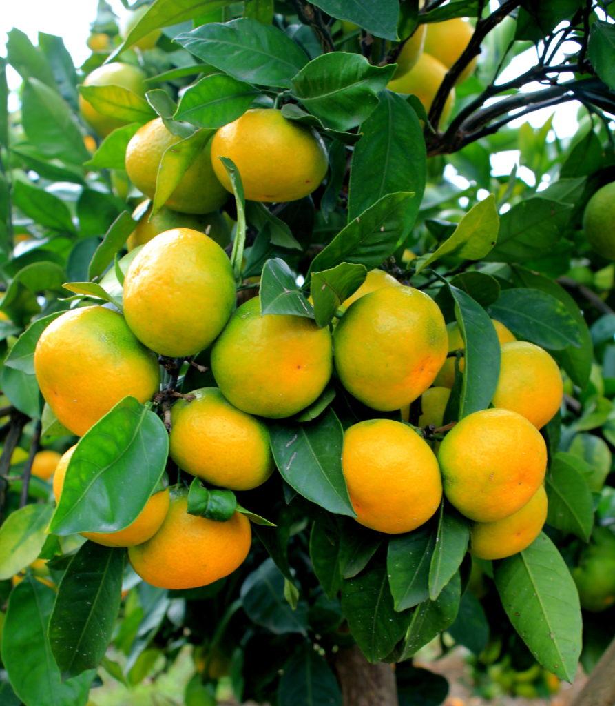 mandarinet-4